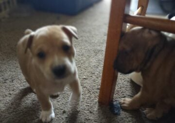 Pit mixed puppies