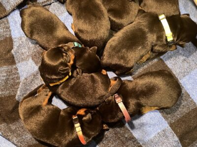 Purebred German Rottweiler Puppies For sale