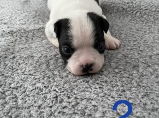 Adorable Boston Terrier Puppies for Sale!