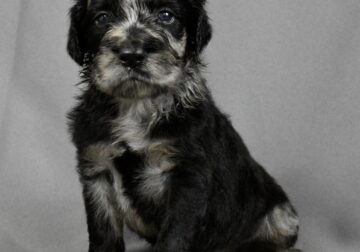 F1B Standard Aussiedoodle, Blue Merle (Lily)