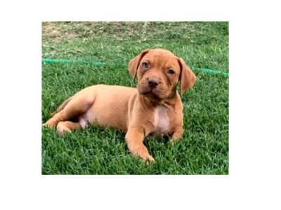 UKC ABKC Bully Male Puppy for sale in DFW