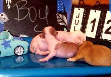 Chinese Crested CKC pups
