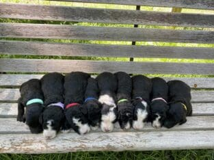 F2 Sheepadoodle Puppies Very Smart Family Dogs
