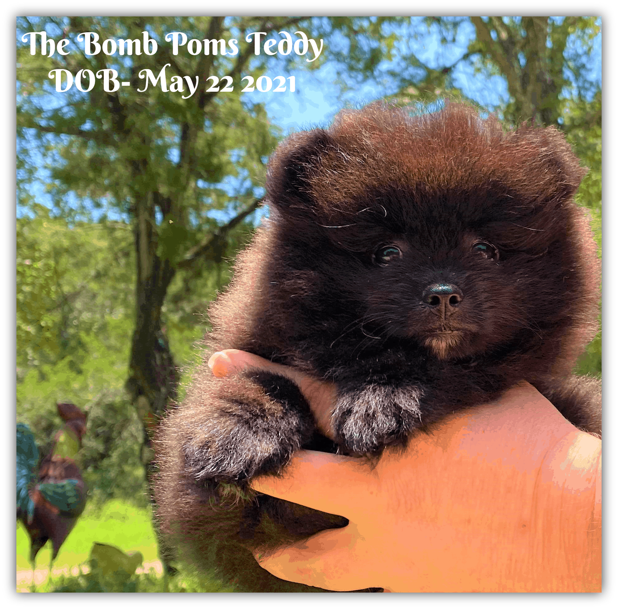 Pomeranian puppy for sale in Texas