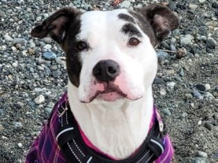 Well behaved, sweet pitty looking for a home