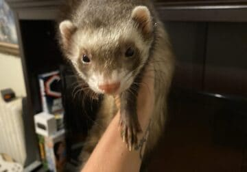 2 ferrets to good home