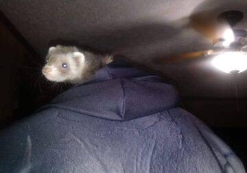Ferret with accessories
