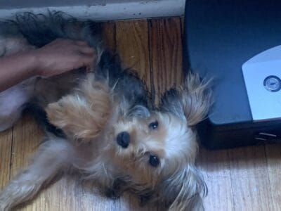 8 month old Purebred Yorkie needs a new home
