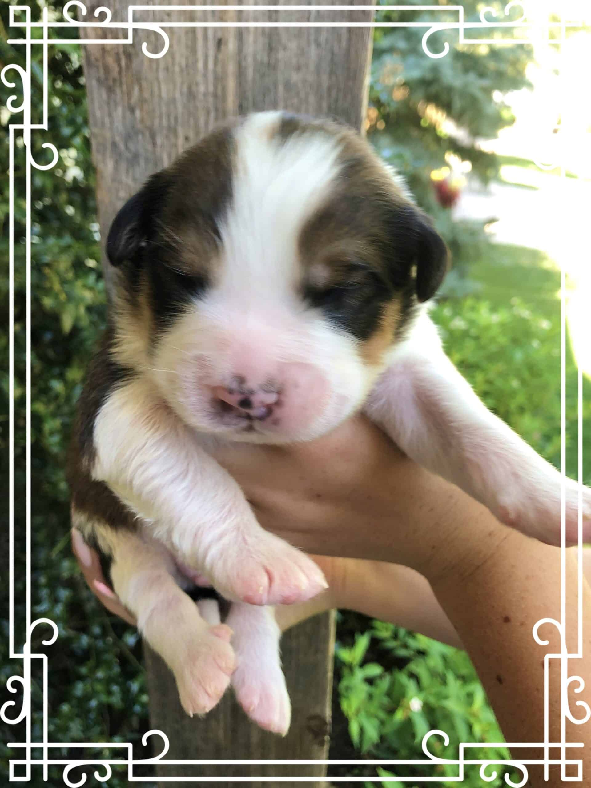 Great Bernese Puppies! Bernese/Pyrenees Mix