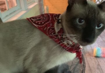 Seal point Siamese 10 month old, neutered males.