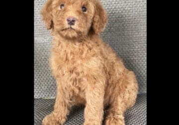 Beautiful Standard Poodle Puppy