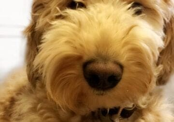 Rehoming goldendoodle
