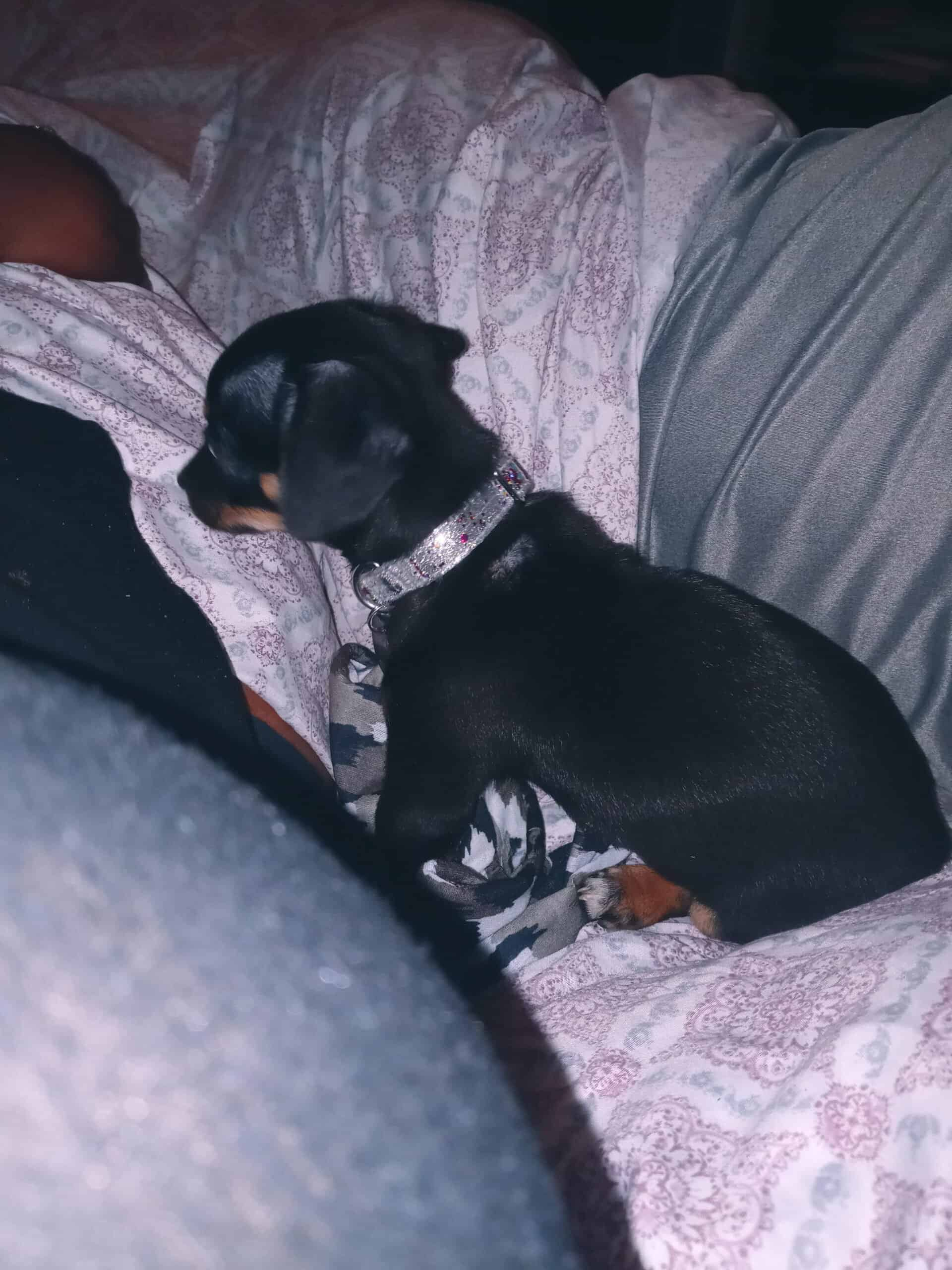 Chiweenie puppy looking to re-home
