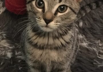 Spayed Kitten (with Shots and Supplies)