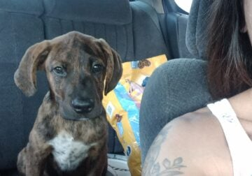 9 week year old mountain cur puppy
