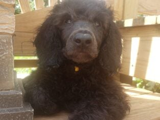 Standard poodles, pet only, neuter required by co