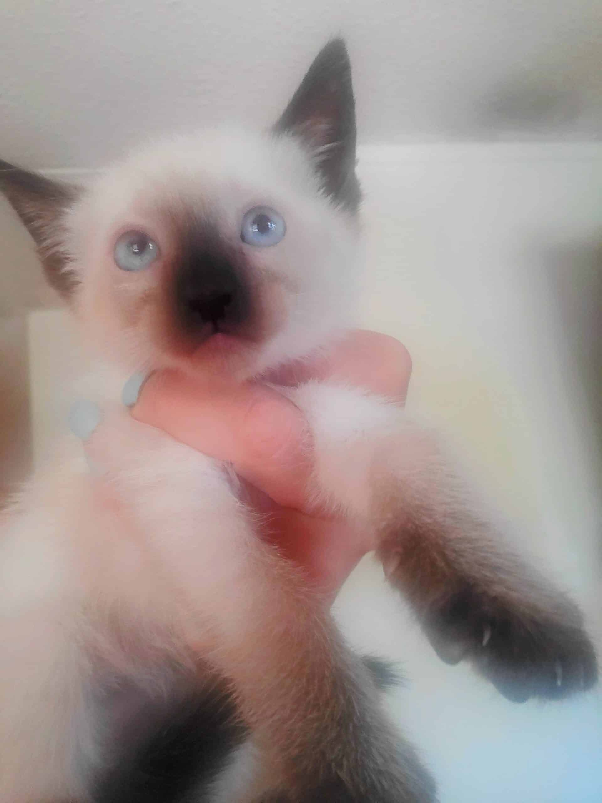 Gorgeous Seal Point Siamese kittens for sale