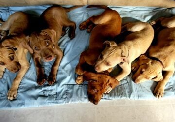 Service Puppies In Training Looking 4 Their Person