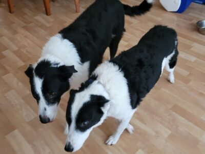 2 border collies for free