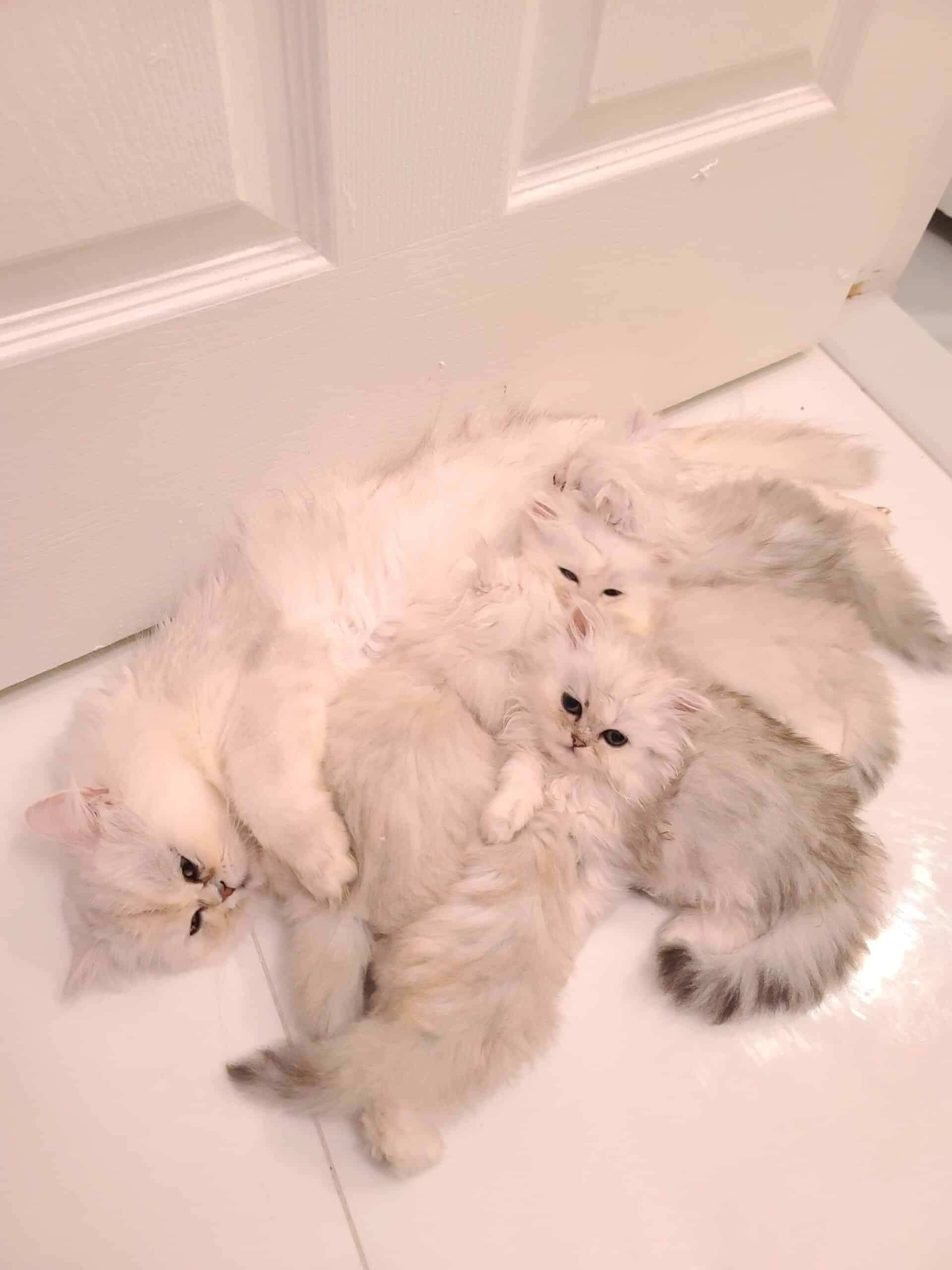 White Silver Shaded Persian Dollface Kittens
