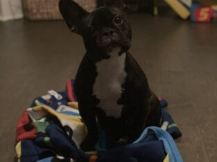 ***French Bulldog For Sale***