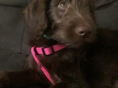 Lilly labradoodle puppy
