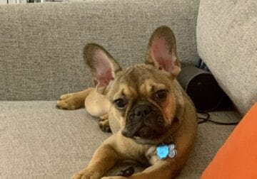 8 month old loveable french bulldog
