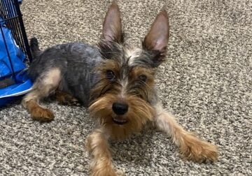 Playful Yorkie for sale