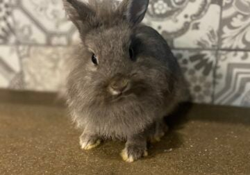 Netherland dwarf bunny with cage for sale