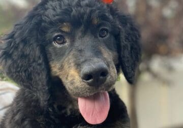 Cutest Bernedoodle Puppies!