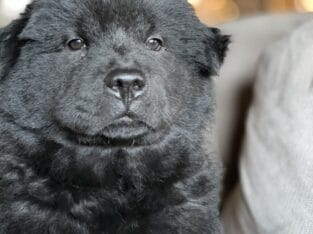 Chow pure bred puppy