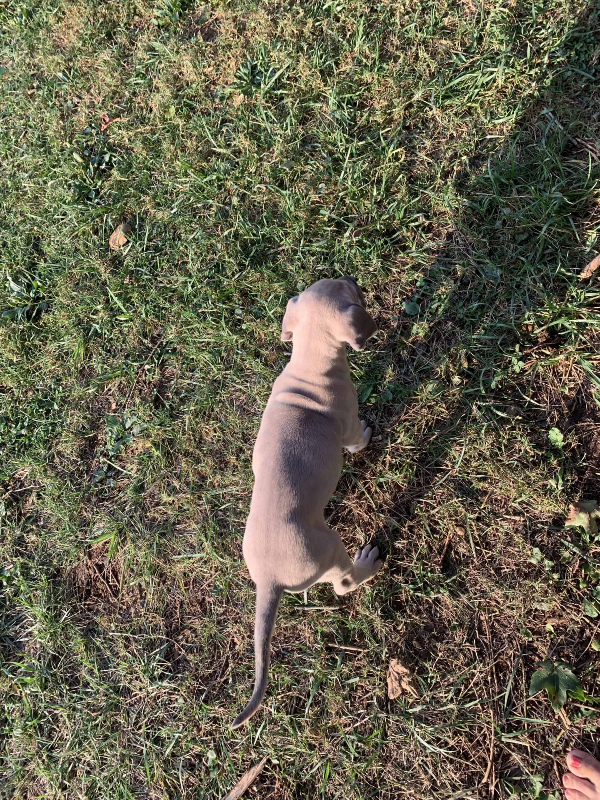 Great Dane female puppy with GREEN eyes!!