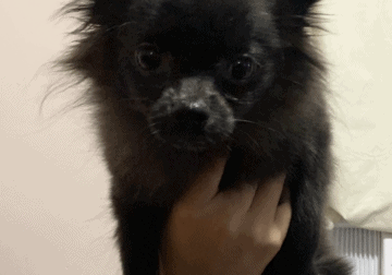 4 month old female Pomeranian puppy