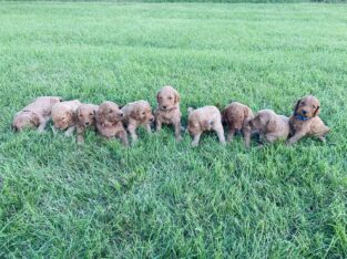 Goldendoodle F1B (2nd generation )puppies for sale