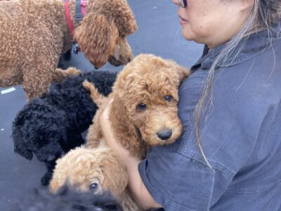 AKC Standard Poodle Puppies 10wks old
