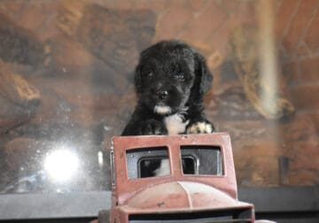 BERNEDOODLE PUPPIES BORN JULY 10