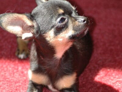 Looking for a Teacup or Applehead Female Puppy