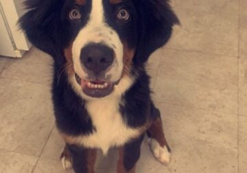 7 Months Old Bernese Mountain Dog
