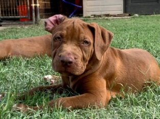 UKC ABKC Bully Female4 Puppy for sale in DFW