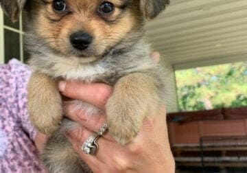 Puppies for sale Born June 8 2021