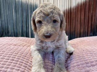 Gorgeous F1BB Goldendoodle puppies