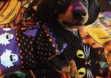 Looking to re-home Miniature Dachshund
