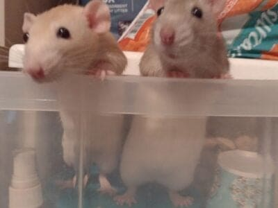 2 Free Girl rats to a good home! +Cage/supplies/fo