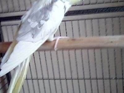 Cockatiel yellow 4 years old