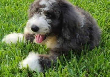 Healthy & Loving Bernedoodle Puppy