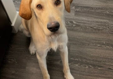 Yellow Lab Mix Rehome