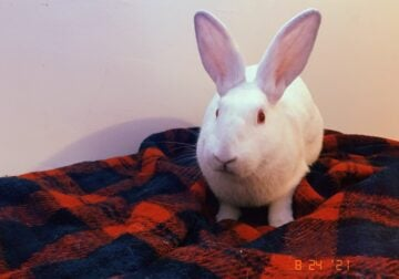 White Rabbits (2) brothers Bonded Pair for Free
