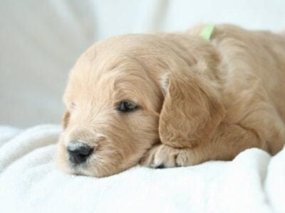 English Standard Goldendoodle Puppies