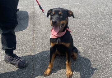 Fun and Trained Rottweiler Puppy