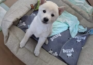 Shiba Inu Puppies ready for their forever home!